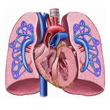 This Labeled Stock Illustration Reveals an Anterior Cut-Away View of the Heart and Lungs