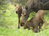Cow Moose with Two Calves in the Spring