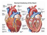 Buy Normal Anatomy of the Human Heart at AllPosters.com