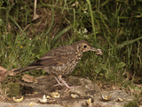 Song Thrush (Turdus Philomelos) Smashing Snails on a Rock, England