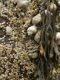 Spiral Wrack (Fucus Spiralis), Periwinkle (Littorina Littorina) and Barnacles, Acadia National Park