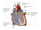 Illustration of an Anterior (Front) Cut-Away View of the Heart Giclee Print