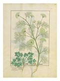 Ms Fr. Fv Vi #1 Fol.154R Parsley and Fennel, Illustration from the 'Book of Simple Medicines'