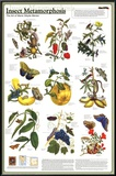 Buy Insect Metamorphosis Educational Science Chart Poster at AllPosters.com