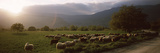 Flock of Sheep Grazing in a Field, Feneos, Corinthia, Peloponnese, Greece
