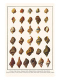 Tritons, False Fususes, Neptune Whelk, Ridged African Tritons,Drills, Rock Shells, etc.