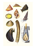 Sea Shells: Livid Top, Yellow Periwinkle,Wentletrap, Cockle, Razorshell, Mussel