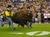 University of Colorado - Ralphie Charges the Field