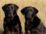 Pair of Black Labrador Retrievers in Sea Grass