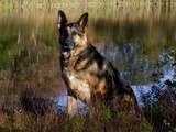 German Shepherd Dog by Pond, Connecticut