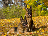 German Shepherd Dog in Fall Color