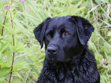Black Labrador Retriever, Portrait