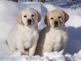 Pair of Yellow Labrador Retriever Puppies in Snow