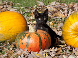 Black Kitten on Pumpkin Fotografie-Druck