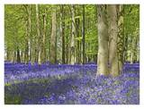 Buy Bluebell wood in dappled sunshine at AllPosters.com