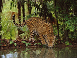 Jaguar Drinking, Panthera Onca, Belize
