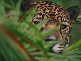 Jaguar in Undergrowth, Panthera Onca, Belize