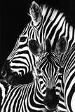 Buy Zebra- at AllPosters.com