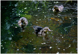 Baby Ducks on Pond