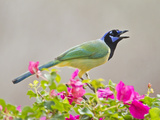 Green Jay Perched in Bougainvillea Flowers, Texas, USA