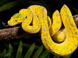 Green Tree Python, Morelia (Chondropython) Viridis, Native to New Guinea