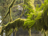 Ferns and Moss Growing on a Tree Limb, Silver Falls State Park, Oregon, USA