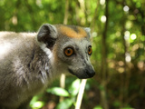 Crowned Lemur (Eulemur Coronatus), Ankarana National Park, Northern Madagascar