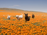 Four Labrador Retrievers Running Through Poppies in Antelope Valley, California, USA