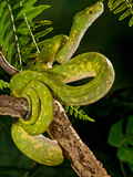 Green Tree Python (Captive), Morelia (Chondropython) Viridis Native to New Guinea
