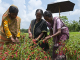 Female Farmer Harvesting Red Chili, Koch Bihar, West Bengal, India, Asia