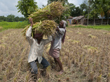 Farmers Harvesting Ripe Rice, Koch Bihar, West Bengal, India, Asia