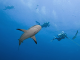 Caribbean Reef Shark (Carcharhinus Perezii) Swimming with Divers, Roatan, Bay Islands, Honduras