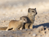 Yellow Mongoose (Cynictis Penicillata) with Young, Kgalagadi Transfrontier Park, South Africa