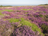 Heather in Flower with View to the Sea, Dunwich Heath, Suffolk, England, United Kingdom, Europe
