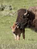 Bison (Bison Bison) Cow Cleaning Her Calf, Yellowstone National Park, Wyoming, USA, North America