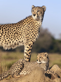 Cheetah (Acinonyx Jubatus) with Cub, Phinda Private Game Reserve, Kwazulu Natal, South Africa