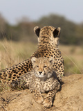 Cheetah (Acinonyx Jubatus) Cub, Phinda Private Game Reserve, Kwazulu Natal, South Africa, Africa