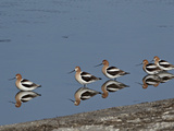 Five American Avocet (Recurvirostra Americana), Yellowstone National Park, Wyoming, USA