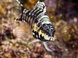 Buy Harlequin Bass (Serranus Tigrinus), St. Lucia, West Indies, Caribbean, Central America at AllPosters.com