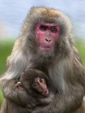 Snow Monkey, Japanese Macaque (Macaca Fuscata) with Baby, in Captivity, United Kingdom, Europe
