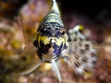 Buy Harlequin Bass (Serranus Tigrinus), St. Lucia, West Indies, Caribbean, Central America at AllPosters.com
