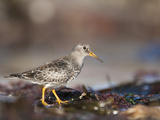 Purple Sandpiper (Calidris Maritima), Bamburgh Beach, Northumberland, England, UK, Europe