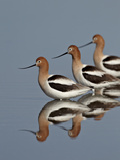 Three American Avocet (Recurvirostra Americana), Yellowstone National Park, Wyoming, USA