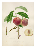 The Red Magdalene peach