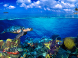 Buy Stoplight Parrotfish (Sparisoma Viride) with French Angelfish (Pomacanthus Paru) and Scrawled Fi... at AllPosters.com