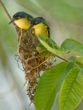 Close-Up of Two Common Tody-Flycatchers (Todirostrum Cinereum), Brazil
