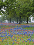 Texas Paintbrush and Bluebonnets Beneath Oak Trees, Texas Hill Country, Texas, USA