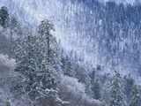 Snow Covered Trees in Forest, Great Smoky Mountains National Park, Tennessee, USA