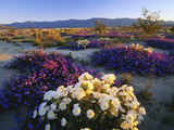 Flowers Growing on Dessert Landscape, Sonoran Desert, Anza Borrego Desert State Park, California