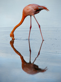 An American Flamingo and its Mirror Reflection in Blue Water